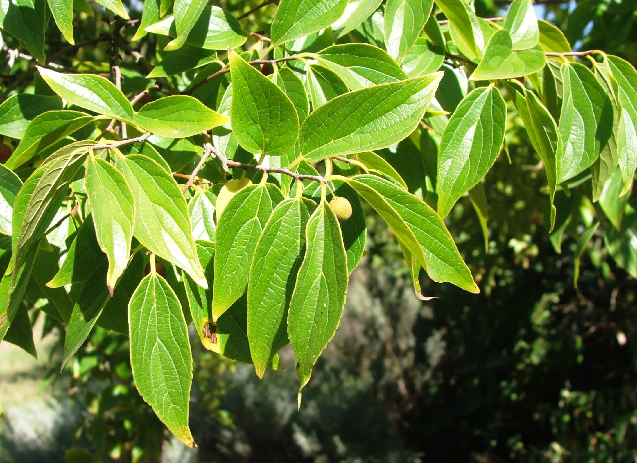celtis_africana_tree